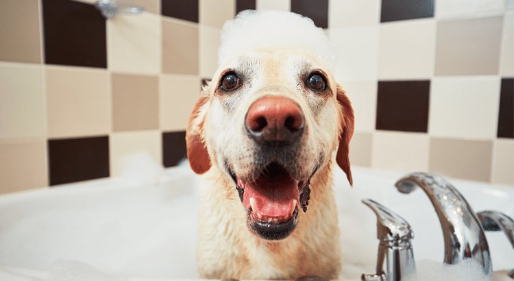 Yellow lab in a bubble bath of homemade dog remedies with suds on his head