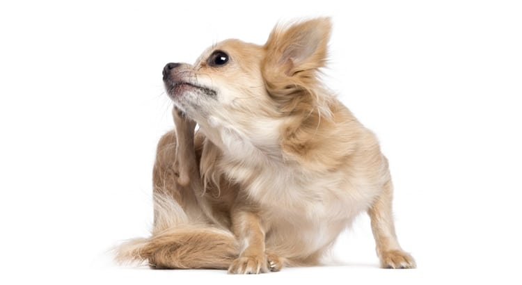 Little brown and white chihuahua itching his ear with his back right foot