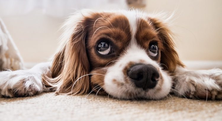 Brown and white cocker spaniel laying on the floor with his paws in front of him, head on the ground and looking up