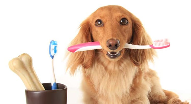 Light brown dachshund holding a toothbrush sideways between his teeth to help with periodontal disease