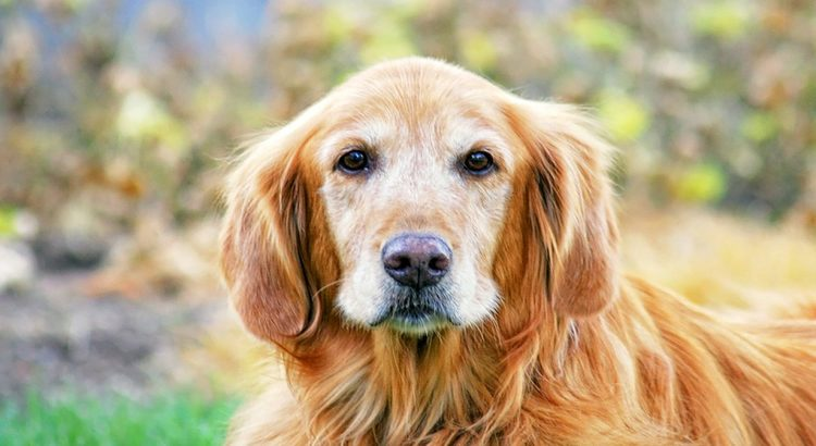Close up of an old Golden Retriever with white on his face
