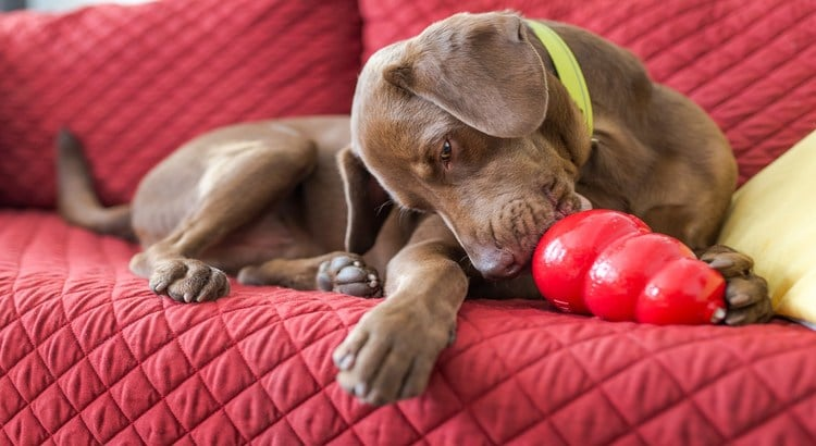 Weimaraner pup laying on a couch with a red cover and playing with an indestructible dog toy
