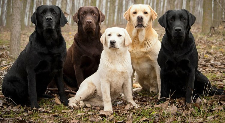 Labrador Retriever The Most Por