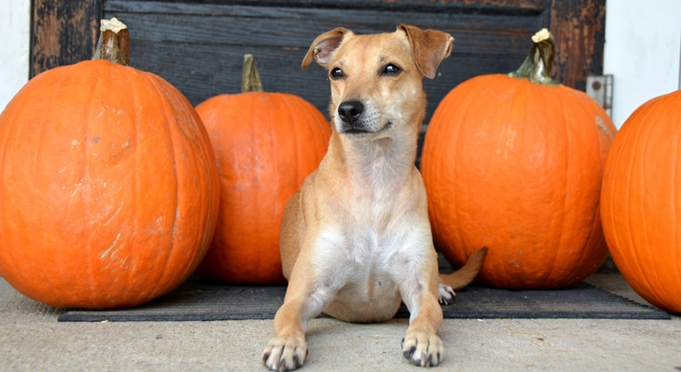 Jack Russel Terrier pup laying on the front porch and surrounded by orange pumpkins