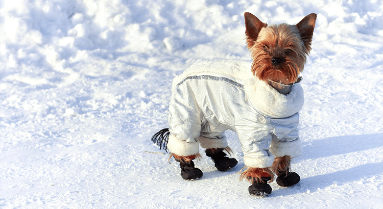 Terrier little dog standing in the snow with booties and jacket on