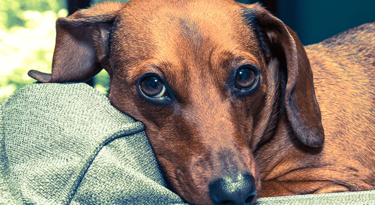Sad medium brown dachshund pups face with his head laying on a blanket