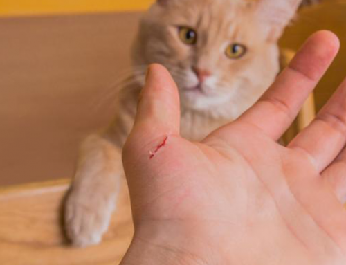 Bartonella: Cat Scratch Fever