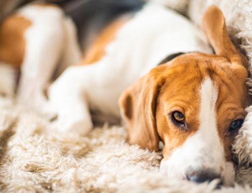 Vestibular Disease in Dogs & Cats