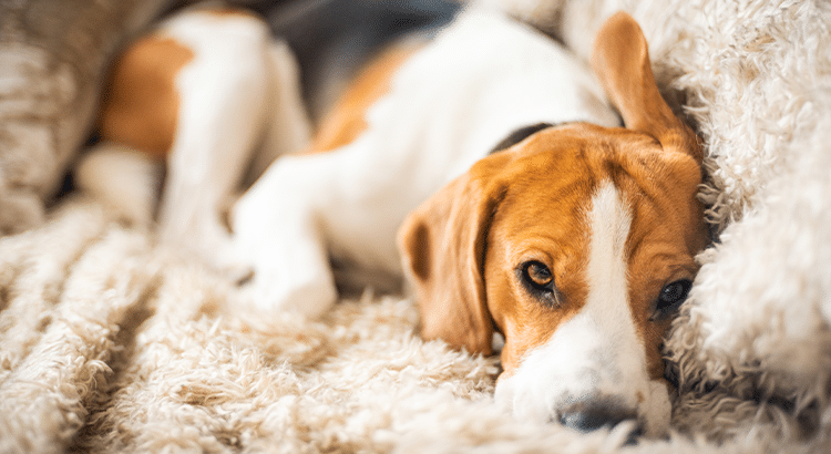 beagle dog laying on the couch on a fluffy blanket and looking sad